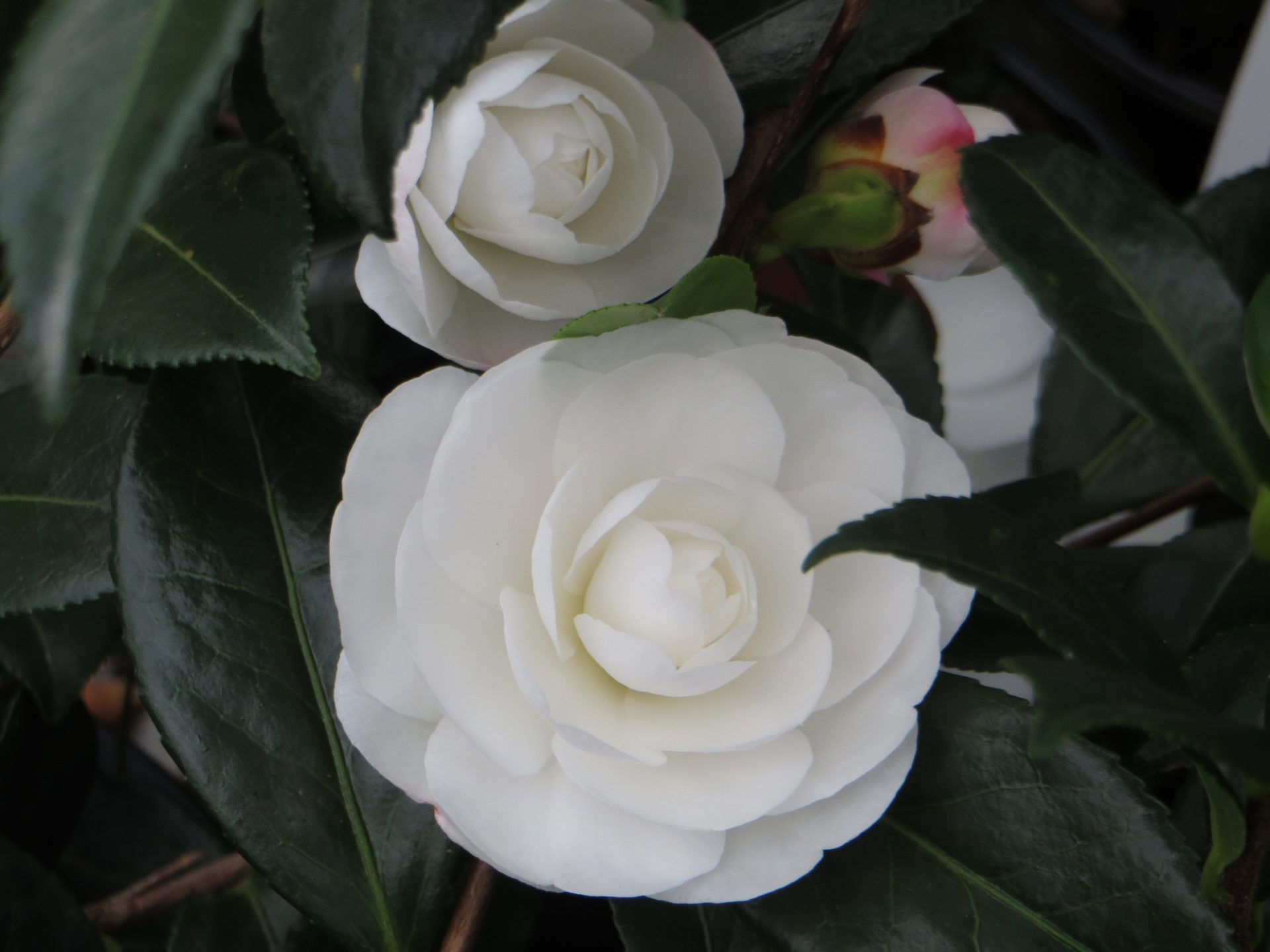 Camelia Early Pearly