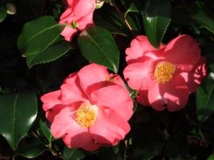 Camélia Dainty california rouge