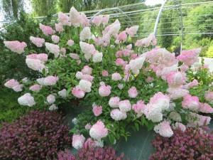 hortensia fleur de bretagne p pini res de port de carhaix. Black Bedroom Furniture Sets. Home Design Ideas