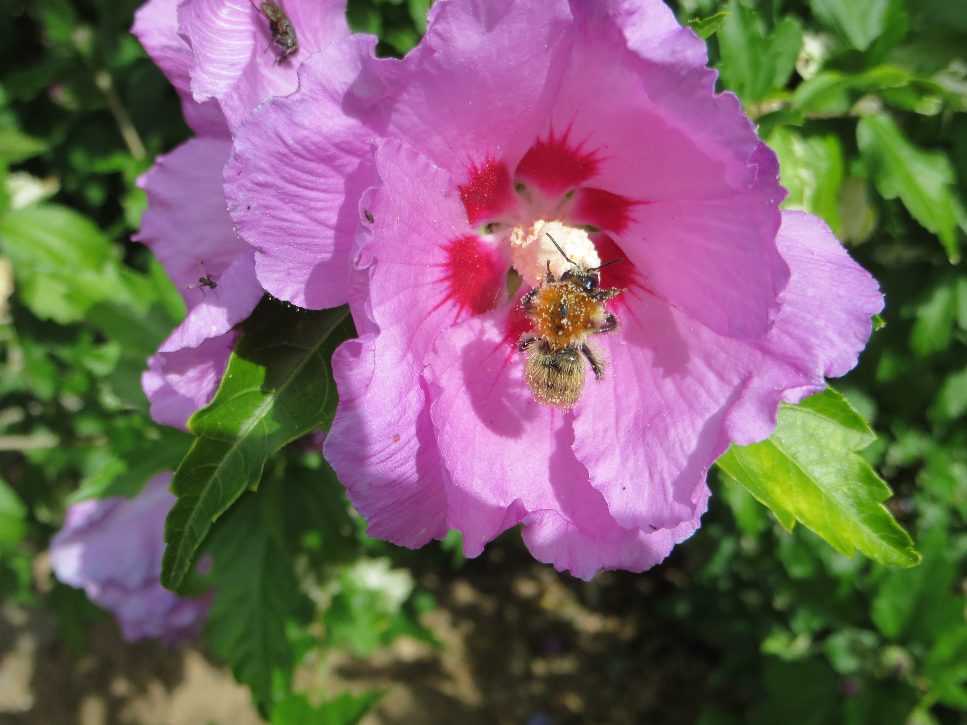 Fleur d'hibiscus.