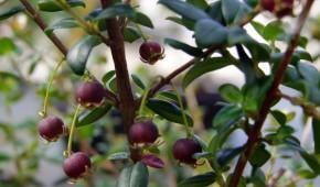 Myrthus Ugni. Persistant.Myrthus Ugni.Persistant.Le goyavier du Chili offre une floraison parfumée de couleur rose en avril mai. La fructification qui s'en suit est très importante. Les petites baies pouvant mesurer jusqu'à 1 cm de diamètre sont comestibles et se consomment fraîches (en sorbet par exemple). D'abord de couleur rouge pourpre, les goyaves ne se récoltent que lorsqu'elles prennent une couleur rouge clair avec des traces blanches par endroit.