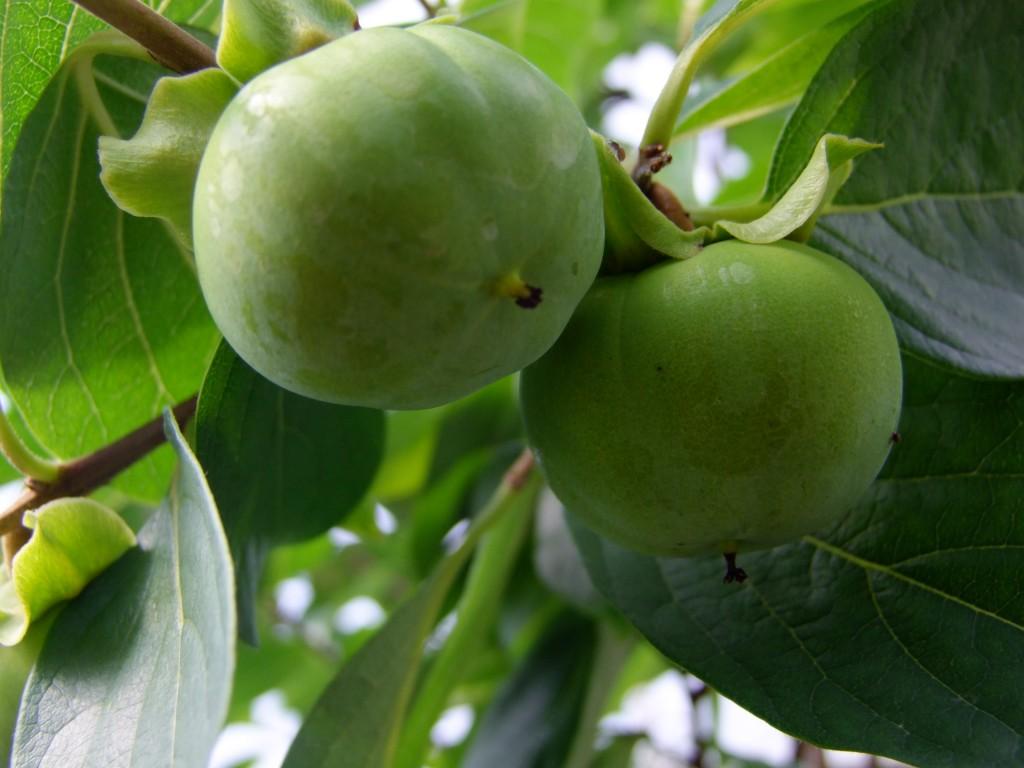 Kaki.Kaki. Le kaki, également appelé plaquemine ou figue caque, est un fruit qui ressemble à une grosse tomate, à la peau lisse, et de couleur orange vif à rouge selon les variétés et le degré de maturité. Il est originaire de l'est de la Chine, et il est le fruit national de la Corée et du Japon, où il est très cultivé et consommé.