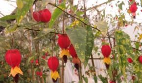 Abutilon Megapotamicum variegata