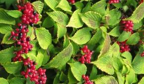 Viburnum détail fruits en automne