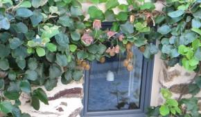 L'actinidier, décoratif et fructifère.