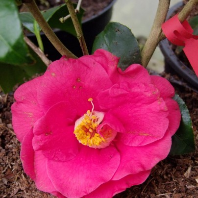 Camélia Aduyaka, fleur épanouie.