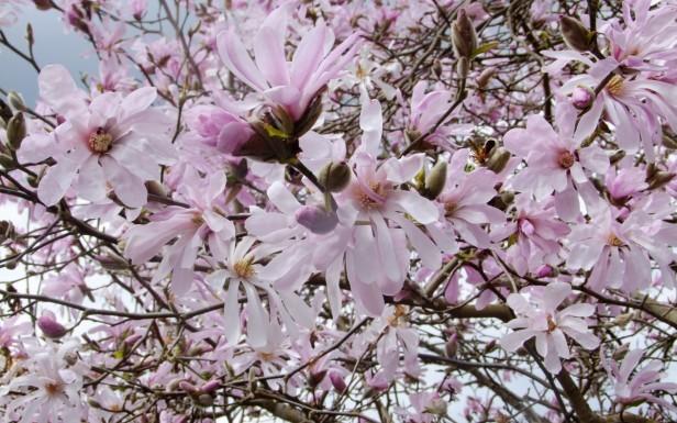 magnolia-leonard-messel