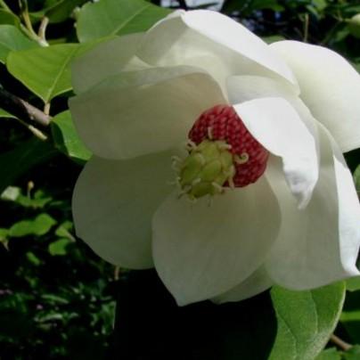 Magnolia Sieboldi