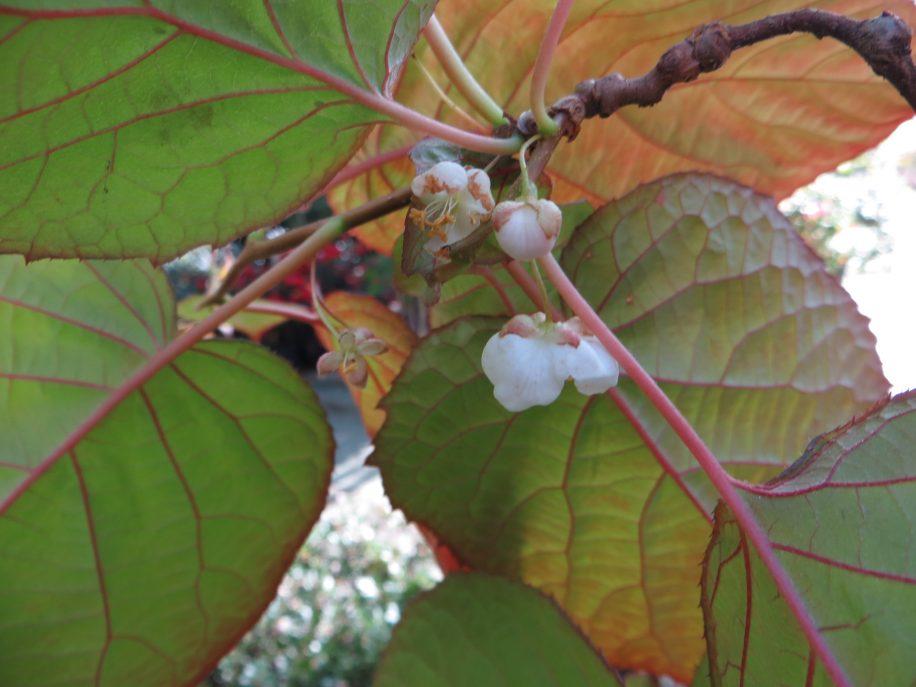Kiwi Kolomikta en fleurs