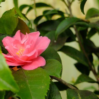 Camélia fragans-pink