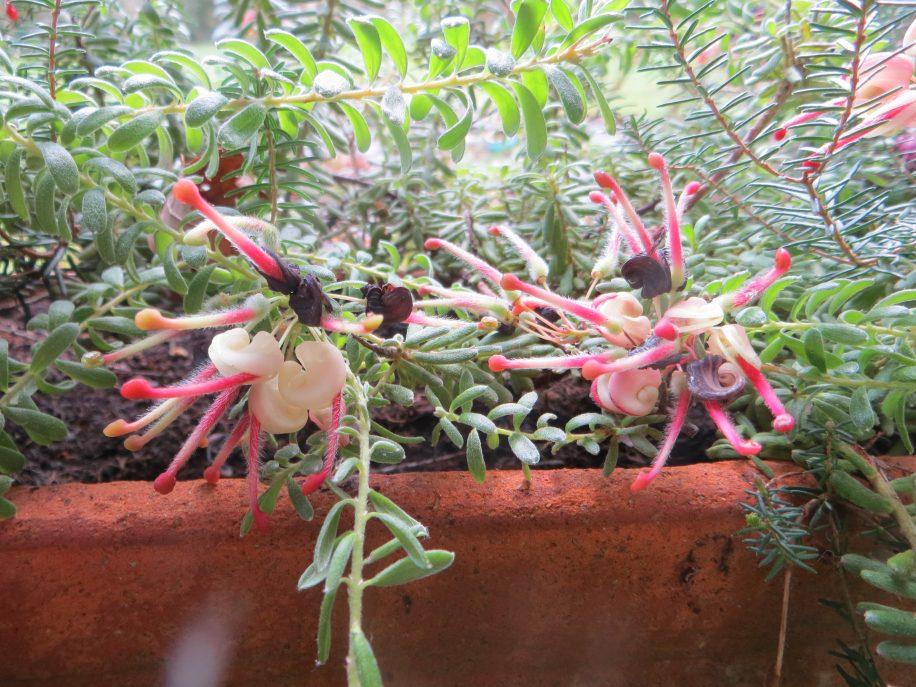 grevillea mount tamboritha