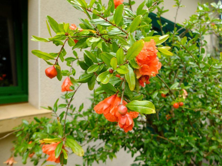 Floraison du grenadier punica granatum