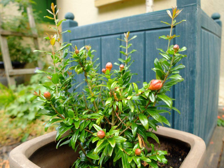 Variété naine du grenadier punica granatum chico